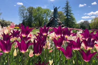 Albany Tulip Festival tulips