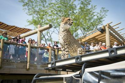Cheetah at Columbus Zoo and Aquarium