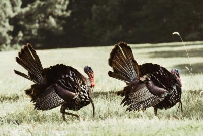 Wild turkeys walking through a pasture in SLO CAL