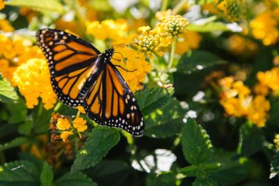 Monarch butterfly on a flower in a field near Pismo Beach, CA