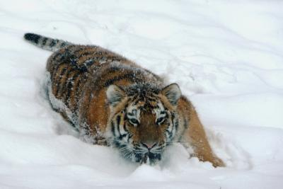 A bengal tiger in the snow at the Rosamond Gifford Zoo