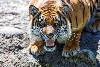 PDZA Tiger