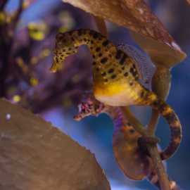 Pot-bellied seahorse