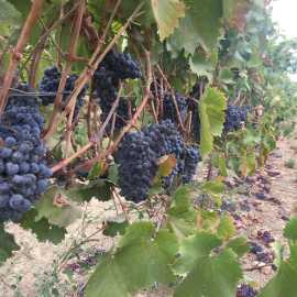 Washington Wine Country Grapes