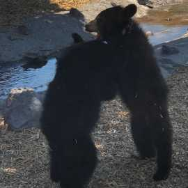 Yellowstone Bear World_2