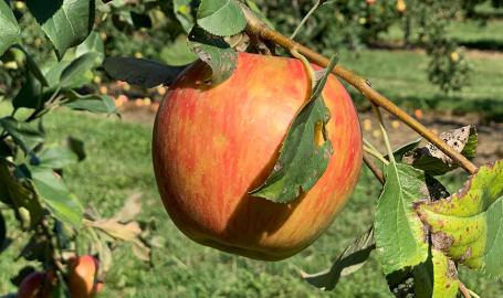 Apple picking at Fair Oaks Farms Orchard