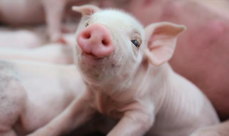 Fair Oaks Farms Pig Adventure
