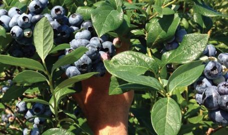 Luedtke Blueberry Farms