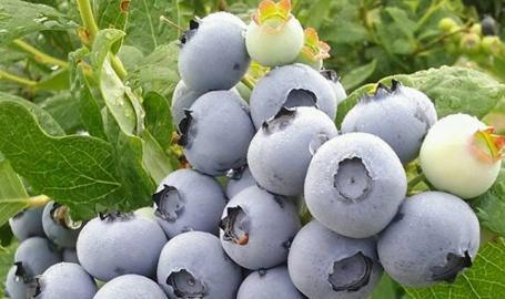 Van Kley's Blueberries