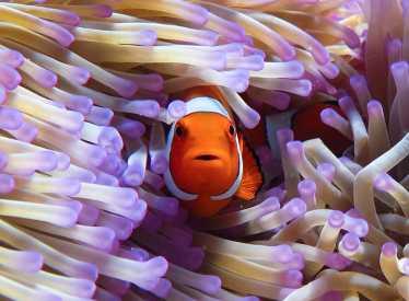 IMAX_GBR3D Clownfish