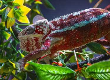 Island Life Panther Chameleon
