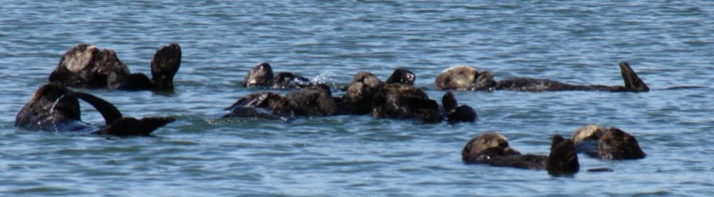 Moss Landing Floating Sea Otter Group