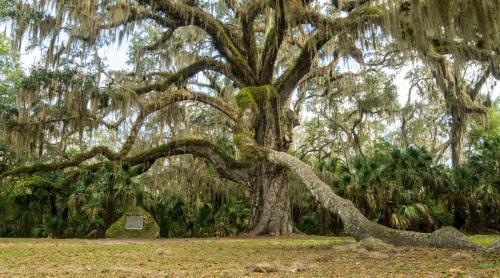 Fairchild Oak at Bulow Creek