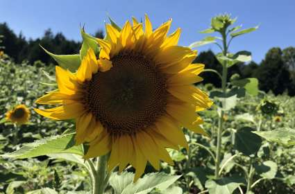 2nd Annual You Pick Sunflower Festival