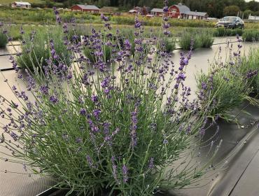 Rochester Lavender Festival at Wickham Farms
