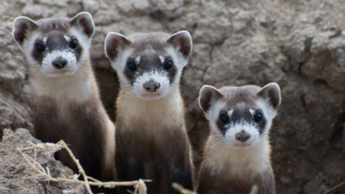Black-footed ferrets