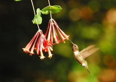 ruby throated hummingbird Pascagoula River Audubon Center