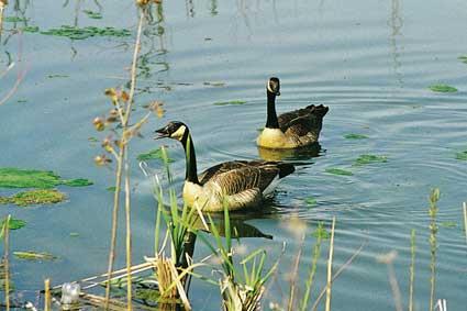 Celery Bog ducks