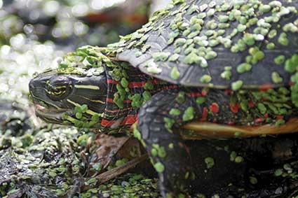 Celery Bog turtle