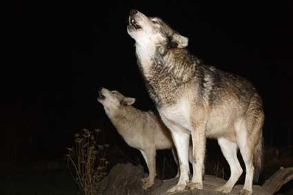 Wolf Howl Nights