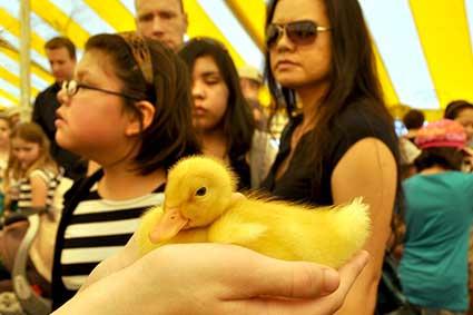 Purdue Spring Fest ducklings
