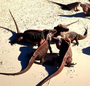 Pink Iguanas on Leaf Island