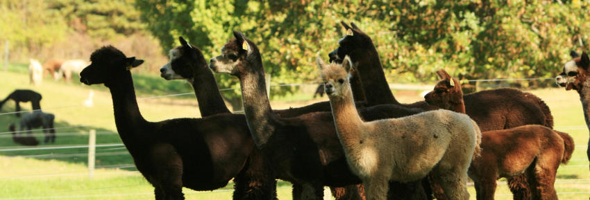 A crowd of alpacas pose for the camera at Lazy Acre Alpaca Farm