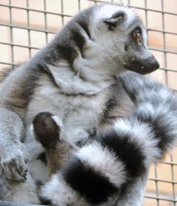 Lemur Babies - Tina Fess - Seneca Park Zoo