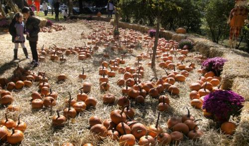 A pumpkin patch surrounded by hay bales