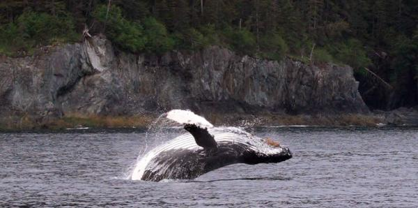 a humpback whale breaching in Prince William Sound
