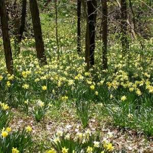Daffodil Hike