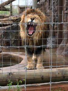 Lake Tobias Wildlife Park - Leo the Lion 2017