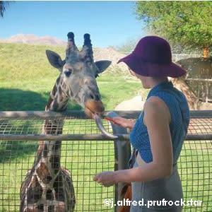 Living Desert giraffe feeding