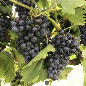 Grapes at The Winery at The Longshot Farm