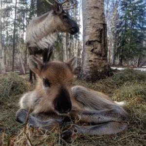 Mother reindeer and calf - Archipelago Farms