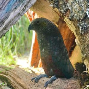 Kiwi Birdlife Kaka chick