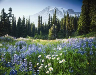 Mount Rainier National Park Meadow
