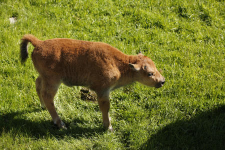 A bison calf at Northwest Trek Wildlife Park in May 2017
