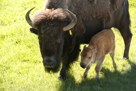 A mother and bison calf at Northwest Trek Wildlife Park in May 2017