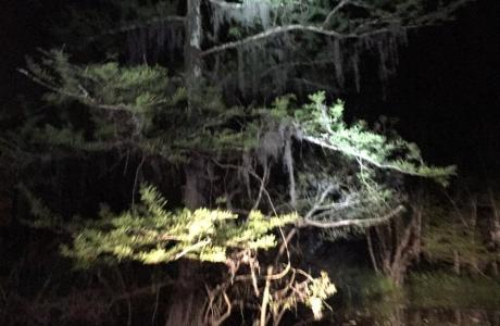 Cypress Tree at Night