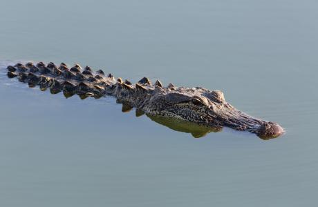 Cattail Marsh alligator