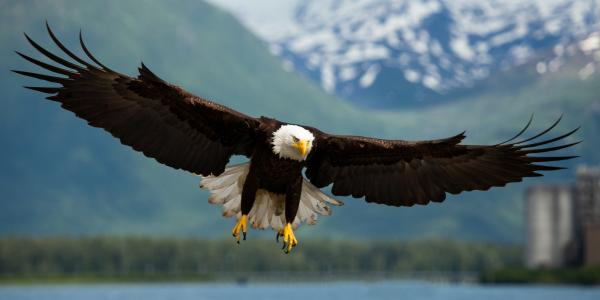 a bald eagle flying over a wetland