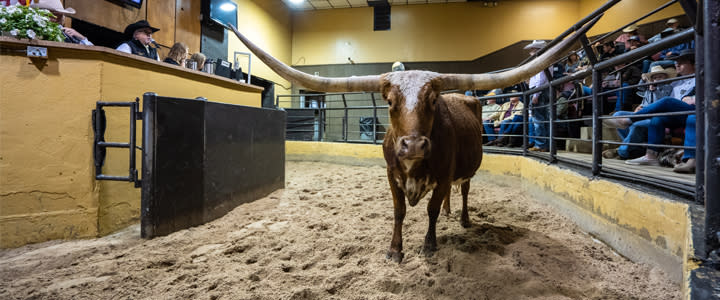 Texas Longhorn at cattle auction in Oklahoma City's Stockyards City