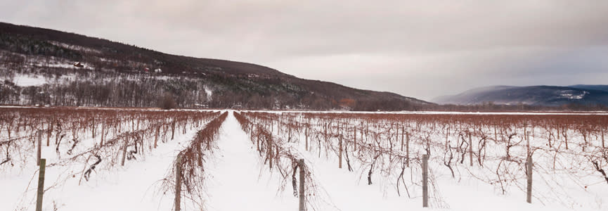 Rows and rows of brown grape vines line the landscape with snow covered ground and rolling hills in the distance.
