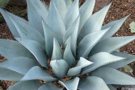 Havard Agave Plant
