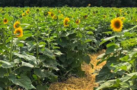 Sunflower Maze at Strawberry Fields