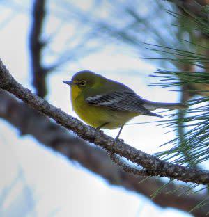 Pine-Warbler-Boiling-Spring-Lakes-Preserve