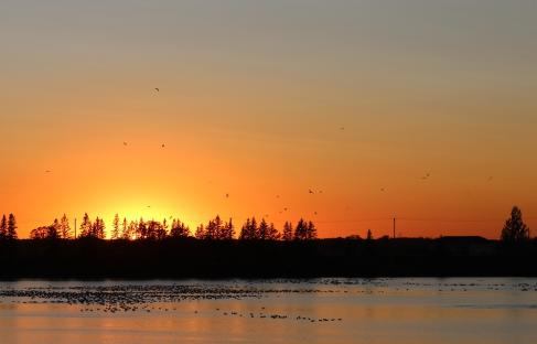 Sunset Goose Flight at FortWhyte Alive, Winnipeg, Manitoba