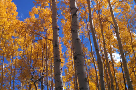 Scenic aspens in the Fall in Steamboat Springs