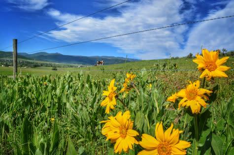 Wildflowers outside Steamboat Springs